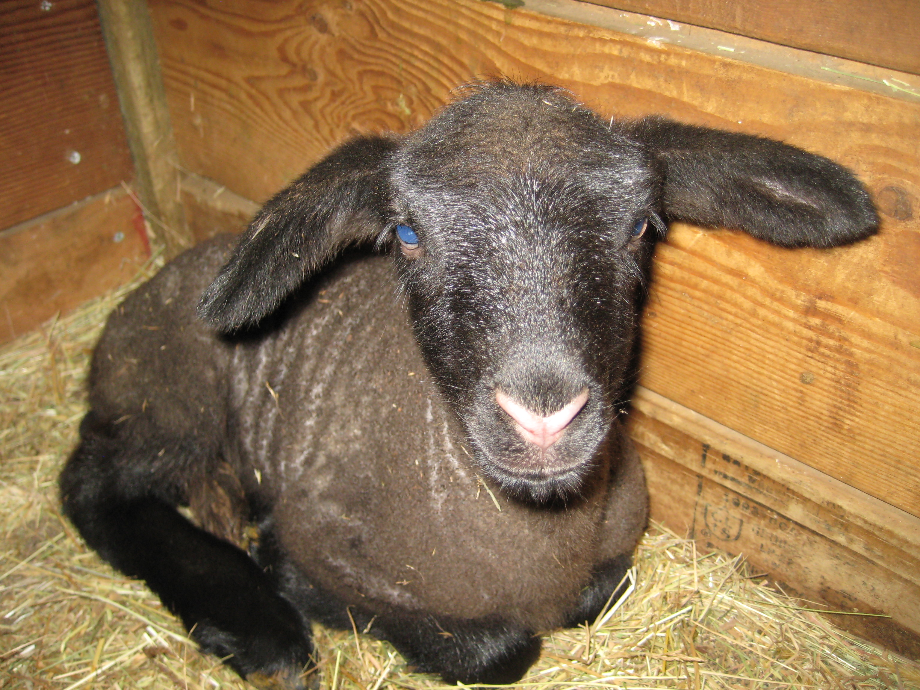 Suffolk Sheep and Lambs for Sale | Lester & Lester